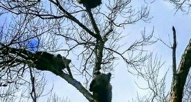 Bear cubs climb a tree close to a residence
