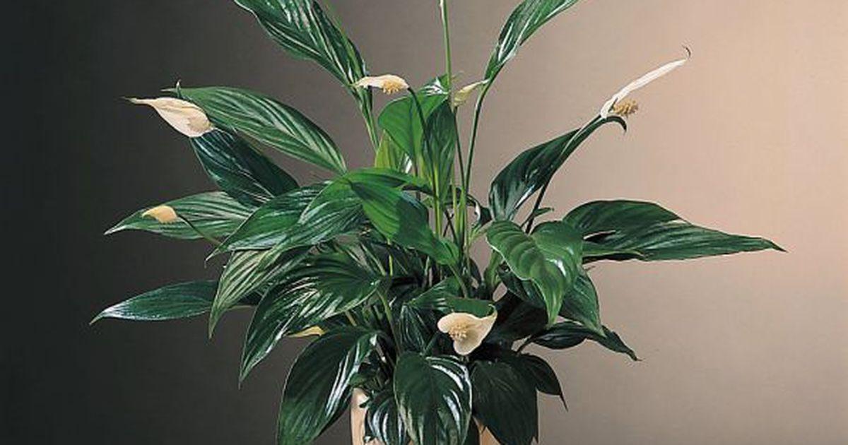 0ea56755e8c Galerii: vaata, millised taimed kasvavad edukalt ka hämaras - Arhiiv -  Tarbija