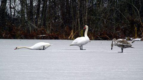 Eestisse jõudis lindude gripp