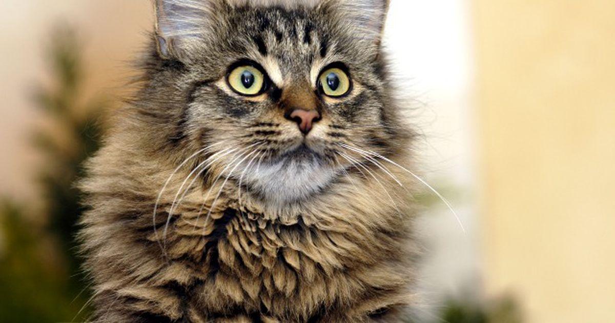 Народные поверья о кошках