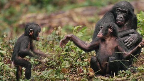 Šimpansite ajus toodeti märgatavalt vähem dopamiini.