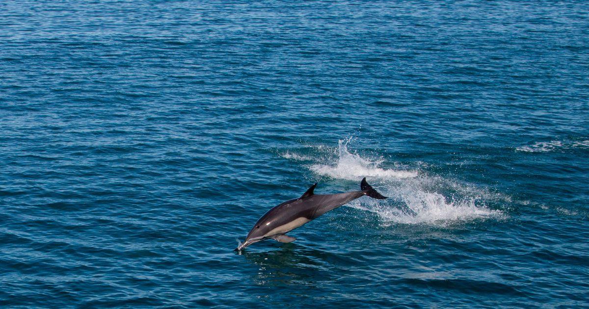Südantlõhestav video: delfiin ei suutnud hukkunud poja keha hüljata