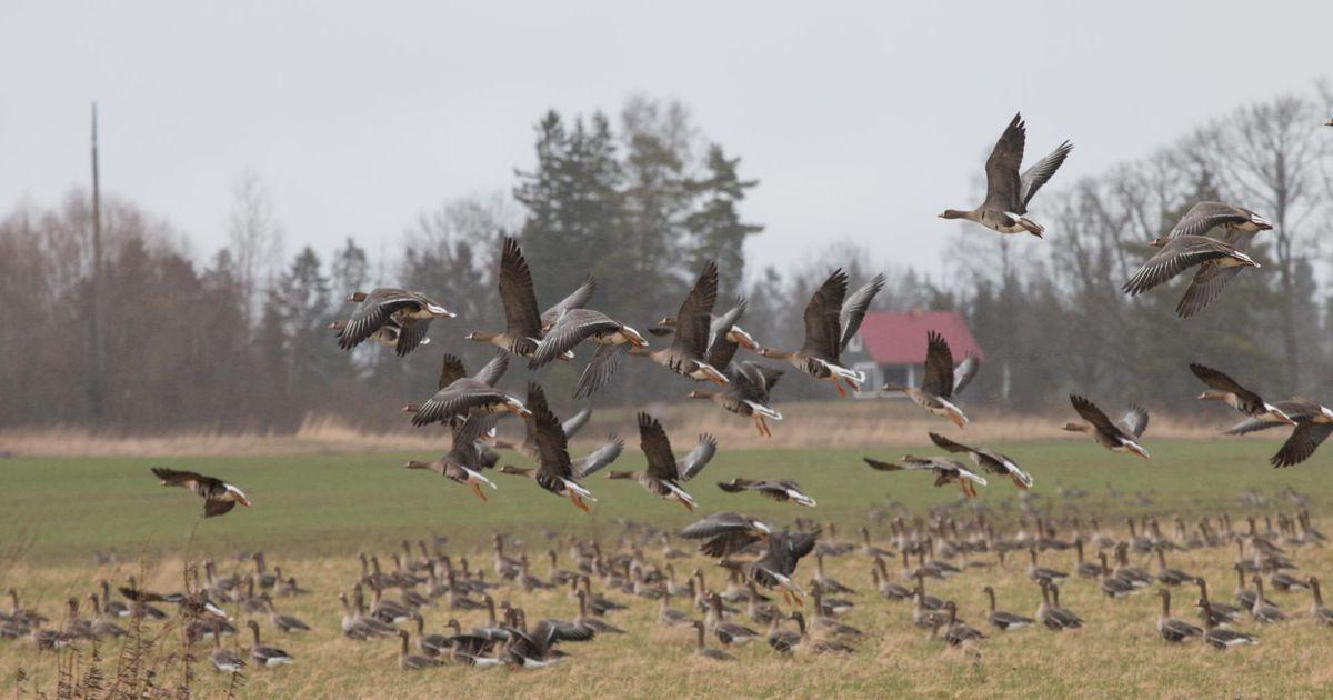 Üleskutse linnuhuvilistele: põllumehed kutsuvad põldudele kogunevaid haneparvi vaatama ja heidutama