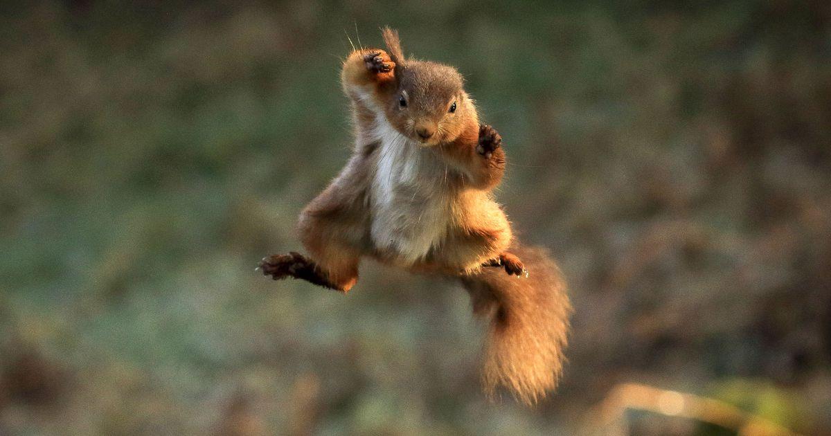 Vaata ja imesta: pähklite järele sööstvad oravad on kui pisikesed superkangelased