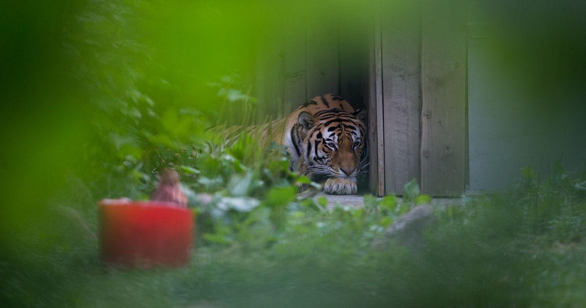 Epp Kärsin: isasel tiigril on nii palju seksuaalenergiat, et kõik oma «naised» korda panna